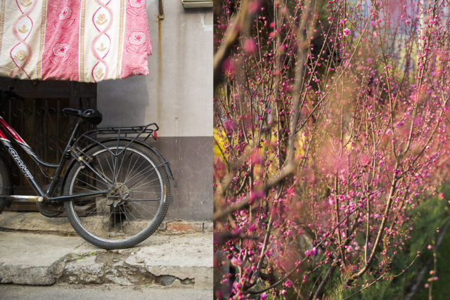 pink flowers – from Beijing to bush